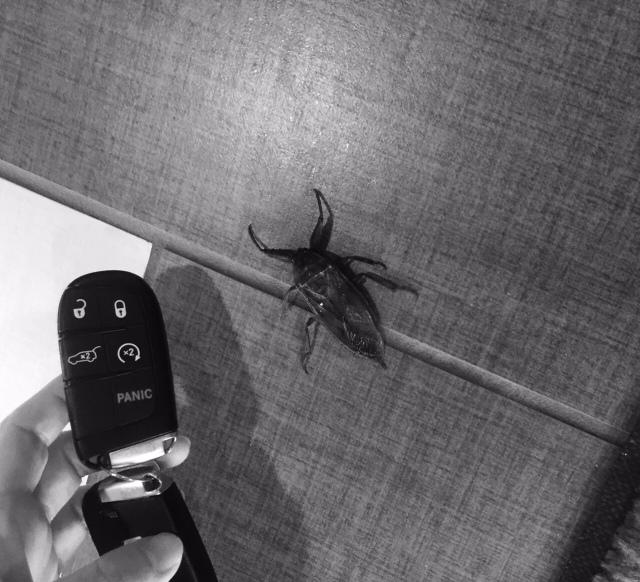 Giant Horn Beetle